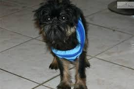 Brussels Griffon Weight Chart Brussels Griffon Puppy For Sale Near South Florida Florida