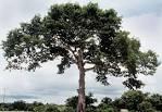 Images & Illustrations of ceiba tree