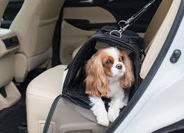 little dog in carrier at back seat