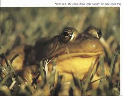 figure 111 5 the yellow throat helps identify the male green frog