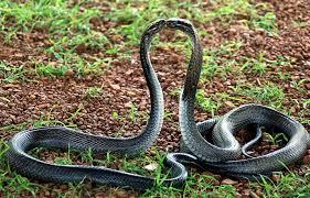 king cobra snakes wallpaper