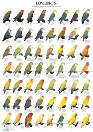 Lovebird Color Mutations Chart The Peach Faced Lovebird Also Known As The Rosy Collared Or
