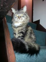 South Rotherham For Pets4homes Months Sale Old Maine 10 Coon Yorkshire Female