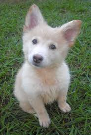 white husky german shepherd mix puppies. Delighful Husky White German Shepherd Puppies  Chloe The Fluffy Puppy   Adopted The Dog Liberator  Intended Husky Mix H