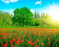 Photo Summer Nature Meadow Poppies Trees