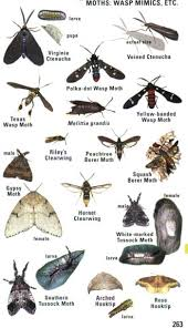Moth Identification Chart Kaufman Field Guide To Insects Of North America