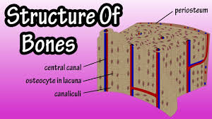 bone tissue structure of bone tissue bone structure anatomy components of