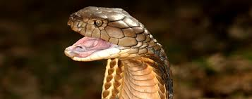 king cobra snake fangs. Interesting Fangs U0027u0027DID YOU KNOW KING COBRAS ARE THE LONGEST VENOMOUS SNAKE With King Cobra Snake Fangs T