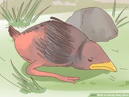 Baby Bird Age Chart How To Identify Baby Birds 14 Steps With Pictures Wikihow