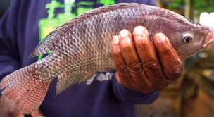 Grow Tilapia Fish To Starting A Small Scale Business Guide