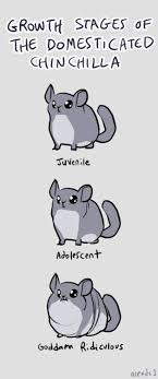 Growth Stages Of A Domesticated Chinchilla Chinchilla Pet