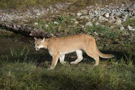 ben slaughter of boulder creek california recorded two mountain lions wandering around the outside of