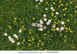 Grass and flowers background Tall Grass Grass And Flowers Background Photography Of Meadow Top View White And Yellow Flowers Shutterstock Grass Flowers Background Photography Meadow Top Stock Photo edit