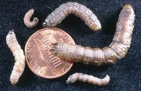 Black Cutworms Pests Corn Integrated Pest Management Ipm