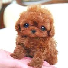 cutest puppy in the world contest. Cachorrinhos Filhotes Fofos Pesquisa Google Inside Cutest Puppy In The World Contest