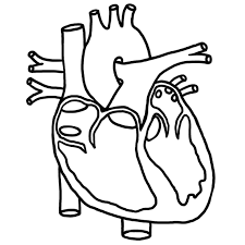 Human heart clipart human heart clipart black and white