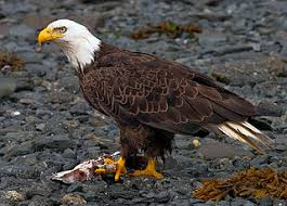 Small Picture bald eagle facts for kids Top Hd Wallpapers