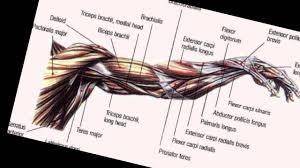 Bodybuilding Anatomy Arms Youtube