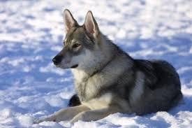 the tamaskan dog