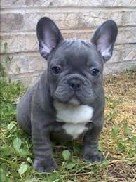 blue french bulldog.  Blue A French Bulldog Will Be My First Dog Well Iu0027ll Get One As A Puppy Of  Course And Blue French Bulldog O
