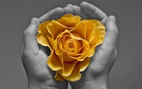yellow rose hd wallpaper free 8862 full hd wallpaper