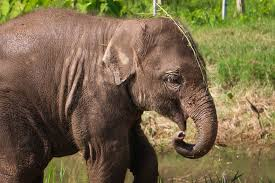 photo essay elephants at the elephant nature park non stop baby elephant at enp