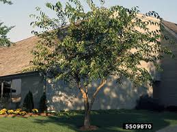 Grandma L Had A Big Mulberry Bush In Her Back Yard Grandma Didn Non Fruiting Mulberry Tree