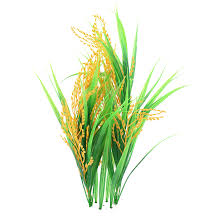 rice plant clipart. Modren Clipart Svg Free Collection Of Crop High Quality Free Vector Library Rice Plant  Clipart With Plant Clipart P