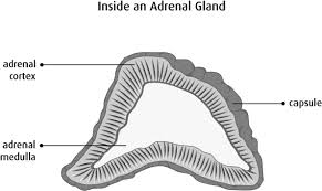 Adrenal Gland Hormones Canadian Cancer Society