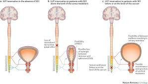 the management of neurogenic lower urinary tract dysfunction after spinal cord injury nature reviews urology