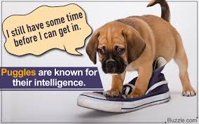 Puggle Growth Chart Startling Facts About Full Grown Puggles