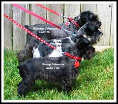 Giant Schnauzer Size Chart Shows What The Sizes Of Schnauzers Are For Teacup Toy And