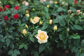 miniature roses plant care growing guide