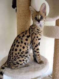 we are licensed breeders of big cats white tiger cheetah cub serval kittens