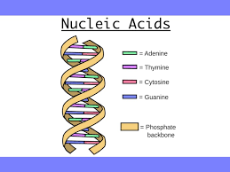 Nucleic Acids Dna Replication Water And Its Functions
