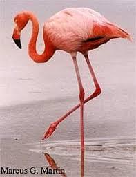 Обыкновенный фламинго фламинго розовый phoenicopterus roseus  обыкновенный фламинго фламинго обыкновенный phoenicopterus roseus фото фотография с