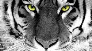 white tiger wallpaper hd 1080p. Modren White Tiger   Search Terms In The Forist White Wallpaper Hd  1080p And White Tiger Wallpaper Hd