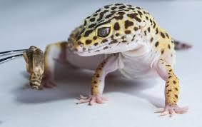 Leopard Gecko Diet Best Food Sizes Feeding Schedules