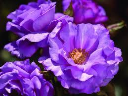 Fragrant Cloud Palatine Roses  Garden Roses  Pinterest Fragrant Rose Plants
