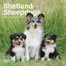 shetland sheepdog puppies mini wall calendar