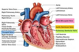 what is the purpose of heart valves