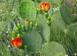 Small Picture Texas State Plant Prickly Pear Cactus