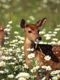 deer in meadow