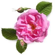 Rose Water | Lush Cosmetics NZ