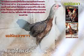 ตองอูไบโอฟาร์ม&ชมรมคนรักไก่พม่ามังกรแดนใต้และก๋อยง่อนปราณบุรี