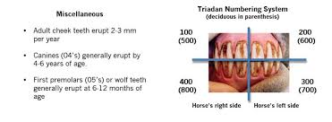 Young Horse Dentistry Midwest Veterinary Dental Services