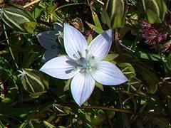 Genzianella di Carinzia [Lomatogonium carinthiacum]