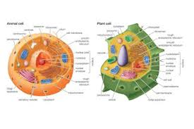 animal cells and the membrane bound nucleus 15 key differences between animal and plant cells