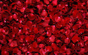 rings and red rose flower hd wallpaper 1920x1200 rosepetals 299892