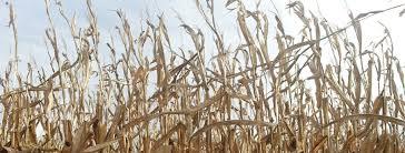 top of cornstalks